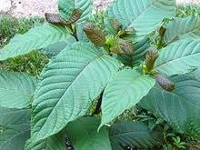What you need to learn about green malay - My Glam Network | buykratom.us | Scoop.it