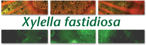 APS/IS-MPMI journals: Xylella fastidiosa Virtual Issue (2012) | Emerging Research in Plant Cell Biology | Scoop.it