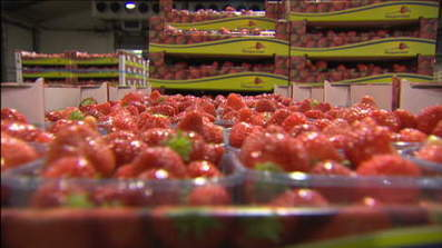 Aardbeien erg duur door slecht weer | MaCuSa kris | Scoop.it