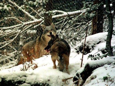 Ciudadanos salvan dos lobos ibéricos al adquirir derechos de caza ... - EFEverde, el periodismo del medio ambiente   News Medio Ambiente   Scoop.it