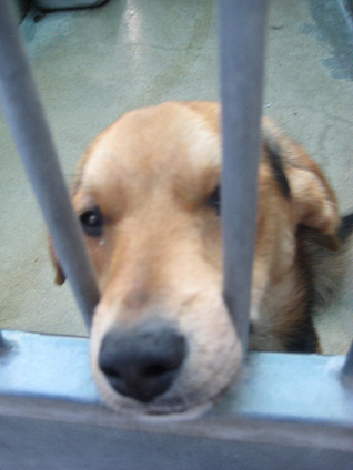 Urgent: Stop Beagle Breeding Facility for Vivisection | Animal Rights | Scoop.it