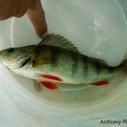 Sushis et poissons crus, risques de parasite | Toxique, soyons vigilant ! | Scoop.it