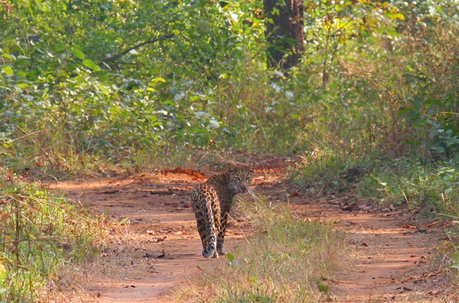 New Genetics Research on Leopards and Tigers in India Underscores the Importance of Protecting Forest Corridors - National Zoo| FONZ | Conservation Biology, Genetics and Ecology | Scoop.it