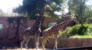 "Zoo Animals Gone Wild - Sarah Palin Accuses Zoo of ""brainwashing giraffes"" 