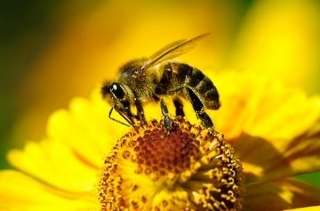 Piqûres d'abeilles: le premier anti-venin testé | apiculture31 | Scoop.it