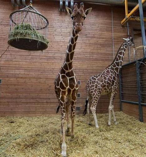 Another zoo in Denmark may kill a SECOND giraffe - New York's PIX11 / WPIX-TV | zoos should not exist | Scoop.it