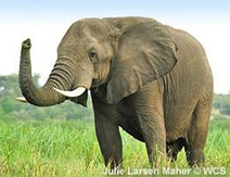 Shut down the ivory trade worldwide | Our Evolving Earth | Scoop.it