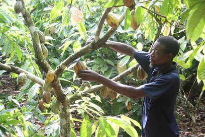 Cocoa certification: Does a minimum price distort the market or protect...   @FoodMeditations Time   Scoop.it