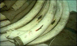 BBC News   Africa   Elephants 'ditch tusks' to survive   Kruger & African Wildlife   Scoop.it