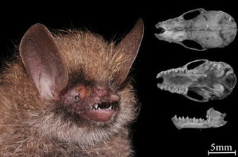Species New to Science: [Mammalogy • 2015] Murina kontumensis • A New Species of the Genus Murina (Chiroptera: Vespertilionidae) from the Central Highlands of Vietnam with A Review of the Subfamily... | Bat Biology and Ecology | Scoop.it