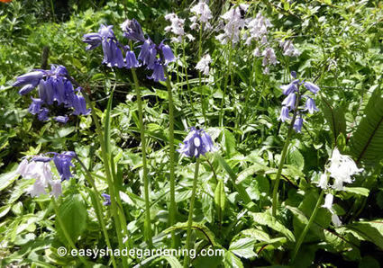 Bluebell Flowers - Propagating, Growing, Bluebells Bulbs in Shade | Gardening is more than Digging the Dirt | Scoop.it
