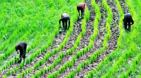 Forte augmentation de la production céréalière mondiale attendue pour 2013 / Alertes alimentaires pour le Sahel et la République centrafricaine | SécuriteAlimentaireSahel | Scoop.it