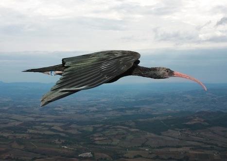 Zo vliegen vogels in V-formatie | André Ogiers | Scoop.it
