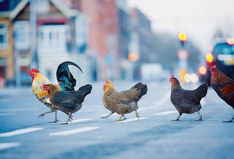 Comment élever des poules en ville | Jardin écologique | Scoop.it