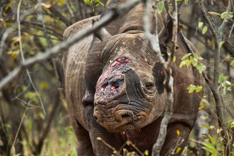 Convicted Drug Dealer Indicted for Selling Rhino Horns | What's Happening to Africa's Rhino? | Scoop.it