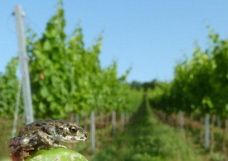 Pour la Science - Actualité - Amphibiens : la mort par les pesticides | Veille écologique | Scoop.it