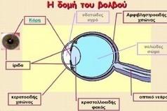 Τα Σαΐνια - Ανατομία του ματιού - Πώς βλέπουμε (08/03/2016) | ΣΤ ΤΑΞΗ , 12 ΔΗΜΟΤΙΚΟ, 2015-2016 | Scoop.it