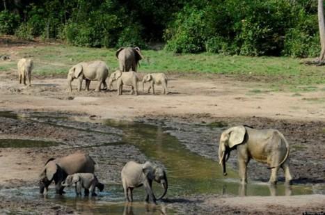 Elephants in Jeopardy in Central African Republic | Africa | Scoop.it