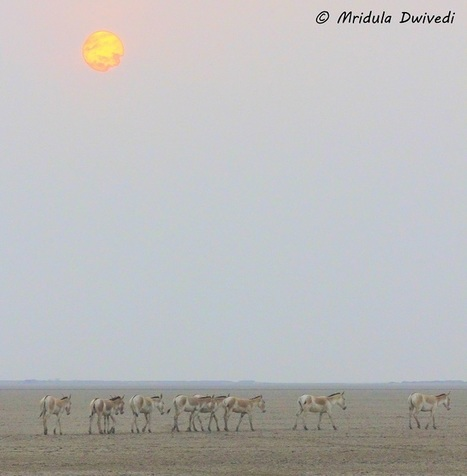 Little Rann of Kutch: Wild Asses and Flamingos Galore! - Travel Tales From India | Travel India | Scoop.it