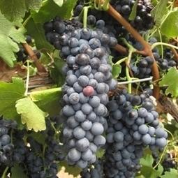 In Australia, Saving wine from climate change | Vitabella Wine Daily Gossip | Scoop.it