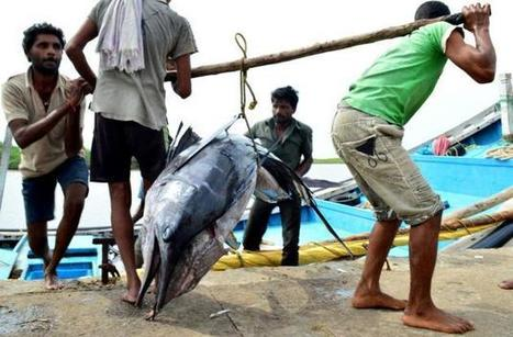 Catching one of the fastest fish 40-km off Krishna! - The Hindu | Global Aquaculture News & Events | Scoop.it