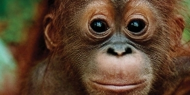 Destroying the orangutans' home | Orangutans | Scoop.it