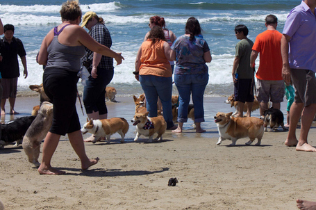 This Is What It Happens When 140+ Corgis Have A Beach Party | The Best of BuzzFeed | Scoop.it