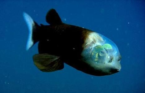 Twitter / StrangeAnimaIs: Barreleye - The Fish with the ... | marine biology | Scoop.it