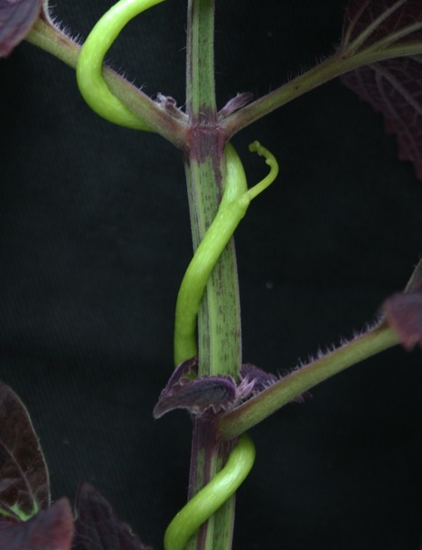 Science: Detection of the plant parasite Cuscuta reflexa by a tomato cell surface receptor (2016) | Stories of plants and its enermies | Scoop.it