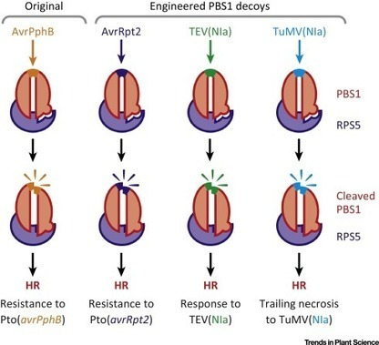 Decoy engineering: the next step in resistance breeding: Trends in Plant Science | Plant-microbe interaction | Scoop.it