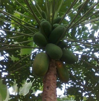 Gambar Pohon Pepaya Sedang Berbuah | Coretan Kecil Hanakres | Artikel Direktori | Blog Dofollow | Funny Video | Scoop.it