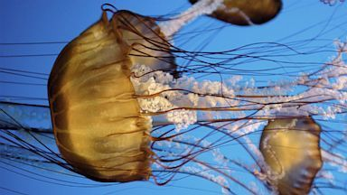 Rare Jellyfish May Have Attacked California Swimmers | All about water, the oceans, environmental issues | Scoop.it