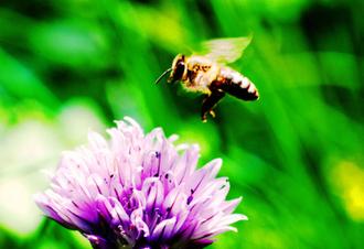 Les abeilles sauvages de hautes montagnes menacées | Abeilles, intoxications et informations | Scoop.it