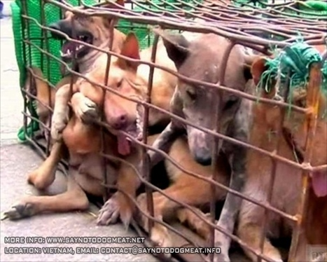 Vietnam: Dogs From Thailand Arrive At Slaughterhouses | SAY NO ... | animals on our planet | Scoop.it
