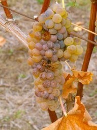 Verdicchio – the LBD of Italian grapes | Wines and People | Scoop.it
