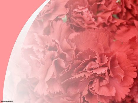 Free Red Carnation Backgrounds For PowerPoint - Flower PPT Templates   PowerPoint Backgrounds   Scoop.it