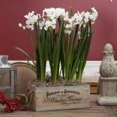 Paperwhites For Christmas! | Annie Haven | Haven Brand | Scoop.it