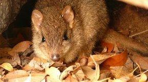 Woylie sanctuary to save species from extinction - ABC South West WA - Australian Broadcasting Corporation | Australian Wildlife - The Woylie | Scoop.it