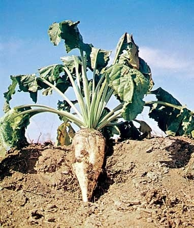 Sugar beets of Southern Utah | Sugar Beets | Scoop.it