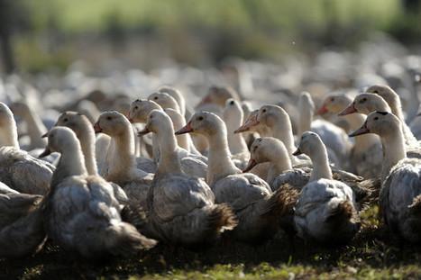Grippe aviaire, 270millions d'euros pour la filière foie gras | Agriculture en Dordogne | Scoop.it