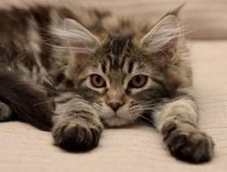 Il carattere e il temperamento dei gatti di razza Maine Coon | AmicoMaineCoon.it | Scoop.it