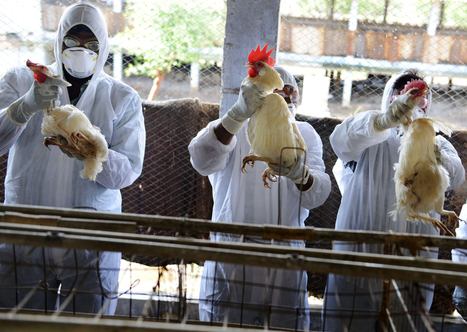Deadly Bird Flu Flew Over [to US] From Asia, Experts Say | Virology News | Scoop.it