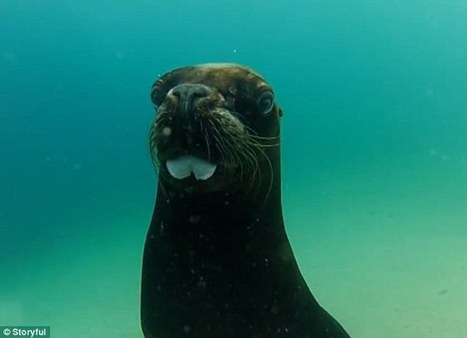 GoPro attached to sea lion captures mesmerising footage of ocean floor | Conservation | Scoop.it