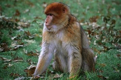 Middle Management Monkeys Most Stressed Out | Geekosystem | Leadership, Career & Management | Scoop.it