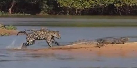 WATCH: Jaguar Attacks From The Water | Xposed | Scoop.it