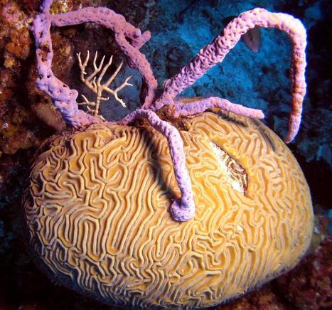 Endangered corals smothered by sponges on overfished Caribbean reefs | To use in my lessons | Scoop.it