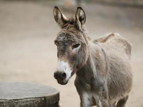 China is buying up all the world's donkeys so they can kill them | Cheval | Scoop.it