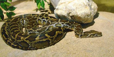 """En Floride, """"The Python Challenge"""" est lancé   un peu de détente   Scoop.it"""