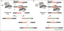 Trends in Microbiology - RNA-dependent DNA endonuclease Cas9 of the CRISPR system: Holy Grail of genome editing? | DNA editing | Scoop.it
