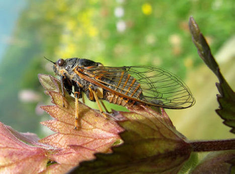 Le Marche Mountain Cicada: New Insect Species Discovered in Le Marche and Switzerland | Hideaway Le Marche | Scoop.it